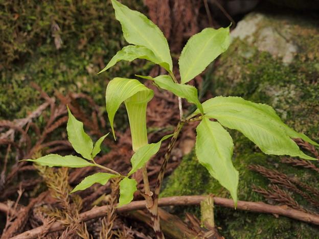 マムシグサの一種 Arisaema sp.