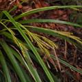 Photos: カンスゲ Carex morrowii