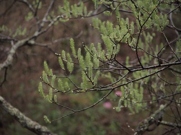 Photos: バッコヤナギ Salix caprea