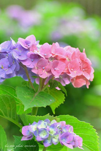 青と紫と赤が一緒の紫陽花