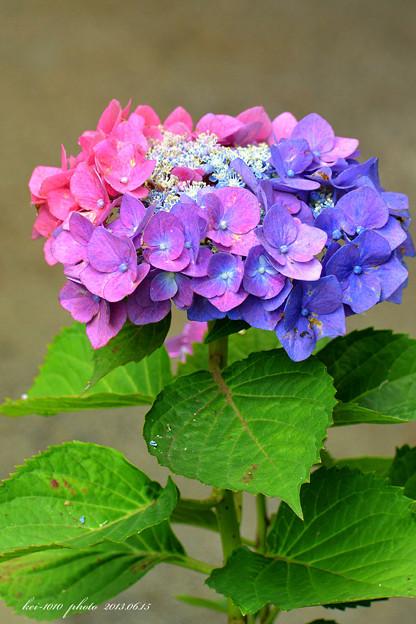 超珍しい紫陽花