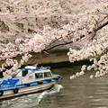 2015桜_大横川1
