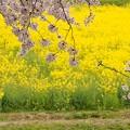 2015桜・菜の花_幸手2