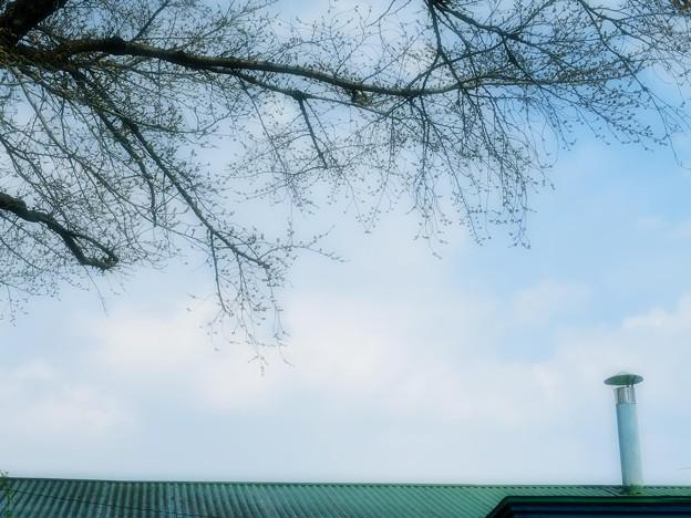 蕾と春の空
