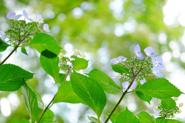 木漏れ陽に咲く紫陽花