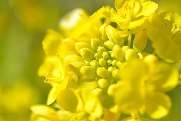 菜の花マクロ