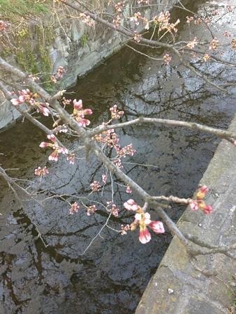 20150327 新川の桜堤