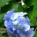 南九州本日梅雨入り(自宅の花)