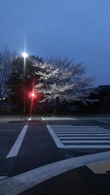 横断歩道と赤信号と桜