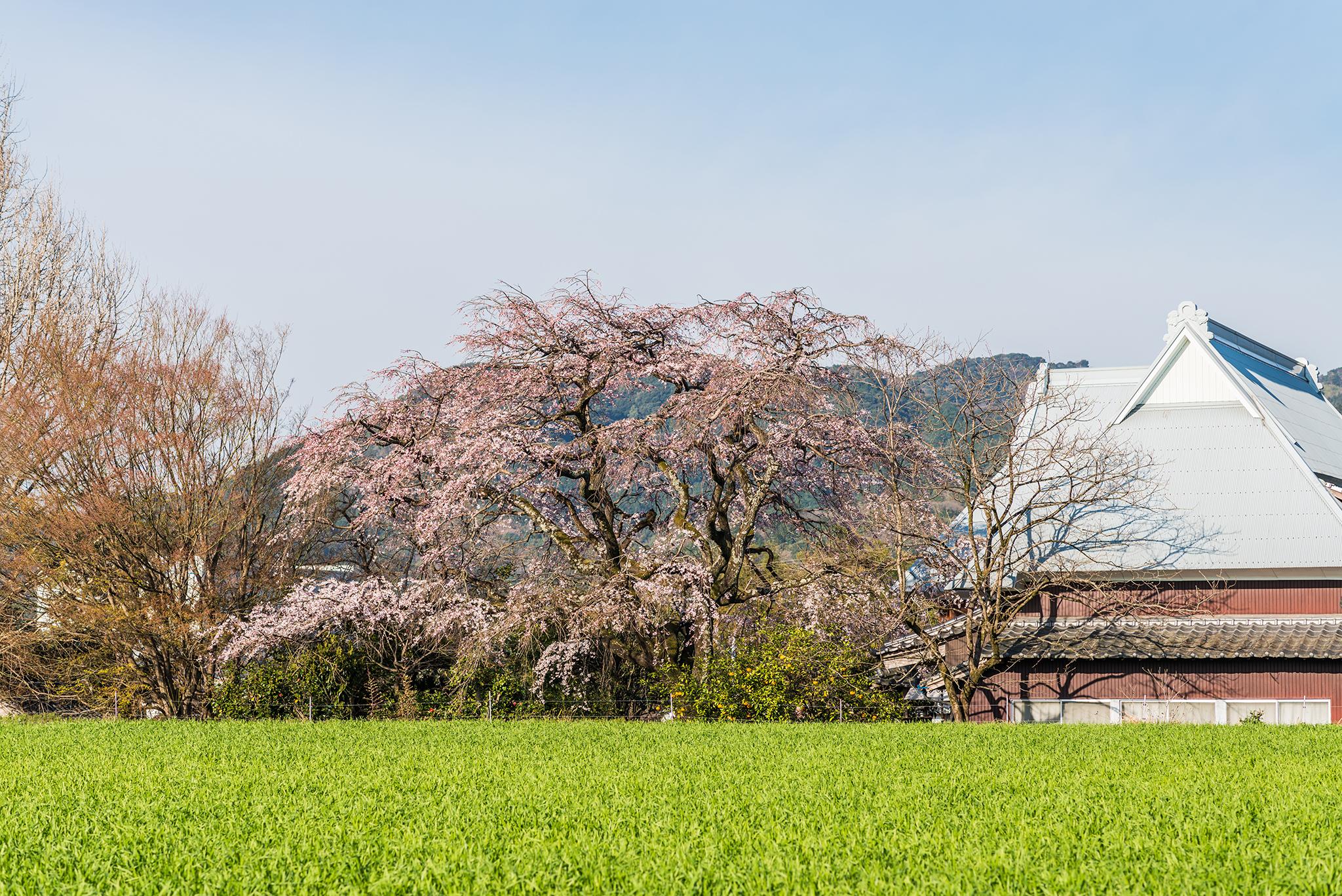宝珠寺のしだれ桜-1