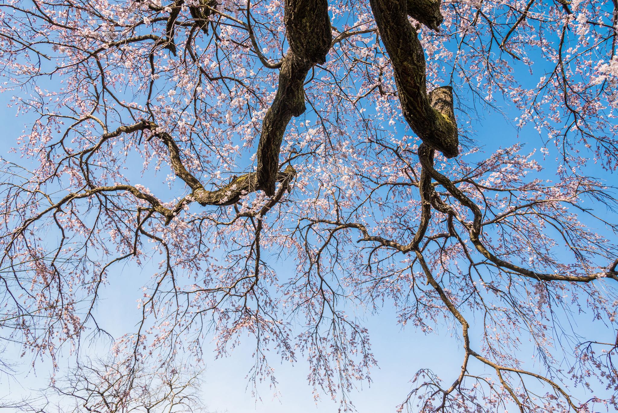 宝珠寺のしだれ桜-11