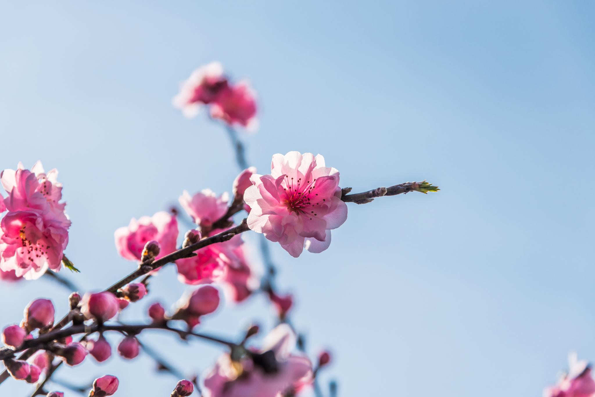 光蔵寺の桜