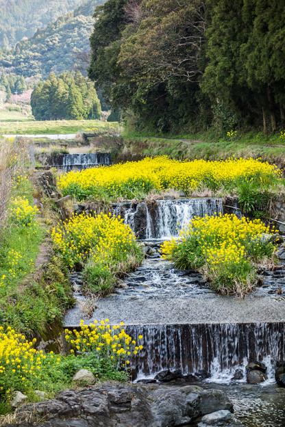 川の中の菜の花