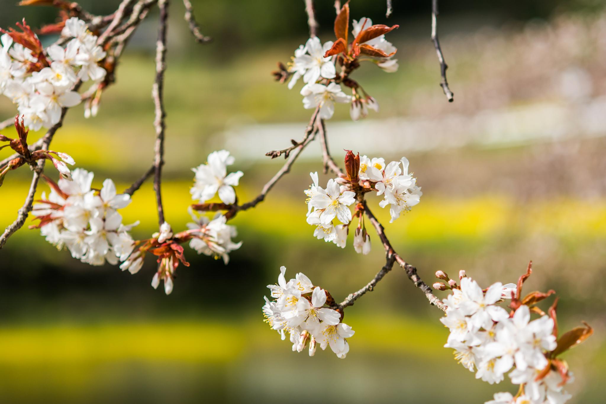 ジラカンス桜-4