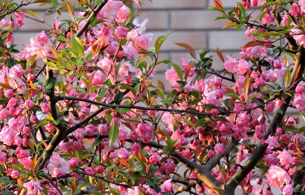 巷の花たち・・・2  花海棠