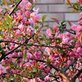 Photos: 巷の花たち・・・2  花海棠