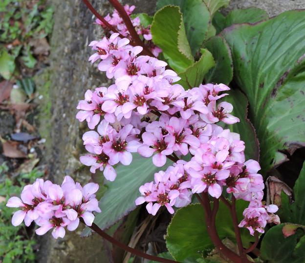巷の花たち・・・3  ヒマラヤ雪の下