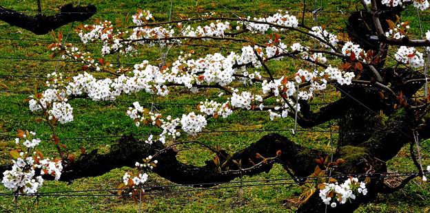 巷の花たち・・・5  梨の花