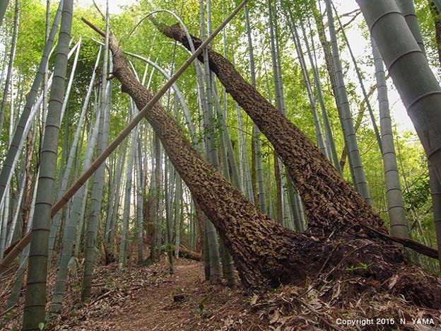 倒れる大木