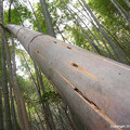 Photos: 竹の痕跡