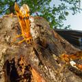Photos: ウマノオバチ