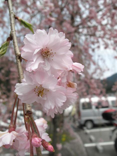 Photos: IMG_9212 遠山郷しだれ桜