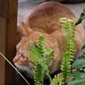 写真: 2009年03月22日の茶トラのボクチン(4歳)
