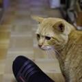 写真: 2011年03月31日の茶トラのボクチン(6歳半)