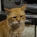 写真: 2012年03月31日の茶トラのボクチン(7歳半)