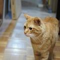写真: 2010年04月07日の茶トラのボクチン(5歳半)