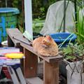 写真: 2011年04月07日の茶トラのボクチン(6歳半)