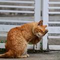 写真: 2012年04月20日の茶トラのボクチン(もう直ぐ8歳)