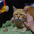 写真: 2011年04月22日の茶トラのボクチン(もう直ぐ7歳)
