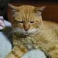 写真: 2012年05月02日の茶トラのボクチン(殆ど8歳)