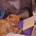 写真: 2011年05月12日の茶トラのボクチン(7歳)