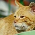 写真: 2012年05月12日の茶トラのボクチン(8歳)