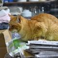 写真: 2011年05月14日の茶トラのボクチン(7歳)