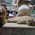 写真: 2015年5月21日のシロちゃん(2歳)・スコちゃん(2歳)、トラちゃん(1歳半)
