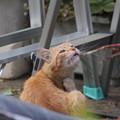 写真: 2009年05月27日の茶トラのボクチン(5歳)