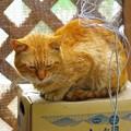 写真: 2011年06月01日の茶トラのボクチン(7歳)
