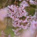 垂れ桜咲く