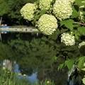 木に咲く紫陽花.......??