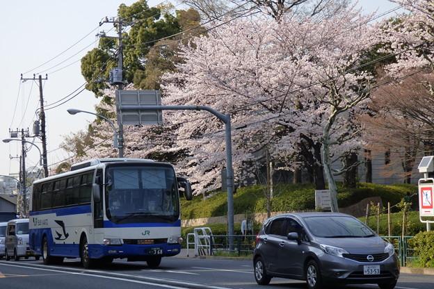 満開の桜の下を走る