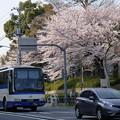 写真: 満開の桜の下を走る