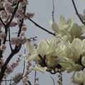 近所の白木蓮