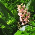 Photos: 紅花栃の木