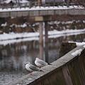 Photos: 冬のカモメ