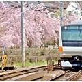 枝垂れ桜を横に