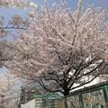 写真: 東京の桜
