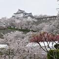満開桜の海に映える備中櫓